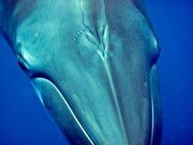 Ascendente cercano de la ballena Foto de archivo libre de regalías