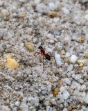 Ascendente cercano de la hormiga foto de archivo