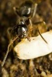 Ascendente cercano de la hormiga Fotografía de archivo libre de regalías