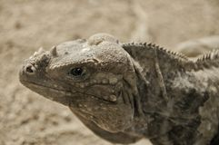 Ascendente cercano de la iguana imágenes de archivo libres de regalías