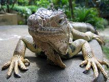 Ascendente cercano de la iguana Foto de archivo