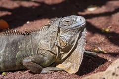 Ascendente cercano de la iguana Imagen de archivo