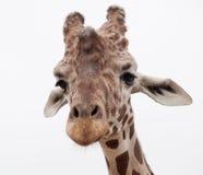 Ascendente cercano de la jirafa Imagenes de archivo