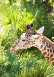 Ascendente cercano de la jirafa Fotos de archivo