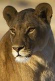 Ascendente cercano de la leona Fotografía de archivo