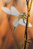 Ascendente cercano de la libélula Fotografía de archivo libre de regalías