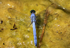 Ascendente cercano de la libélula Imagenes de archivo