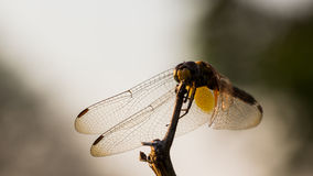 Ascendente cercano de la libélula Imagen de archivo libre de regalías