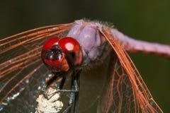 Ascendente cercano de la libélula Fotos de archivo libres de regalías
