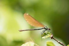 Ascendente cercano de la libélula Fotografía de archivo