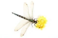 Ascendente cercano de la libélula Imágenes de archivo libres de regalías