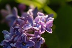 Ascendente cercano de la lila Foto de archivo