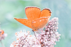 Ascendente cercano de la mariposa Foto de archivo