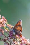Ascendente cercano de la mariposa Fotos de archivo