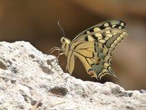 Ascendente cercano de la mariposa Foto de archivo libre de regalías