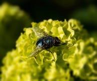 Ascendente cercano de la mosca imagen de archivo