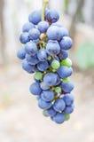 Ascendente cercano de la uva Foto de archivo libre de regalías