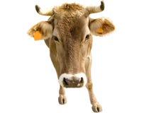 Ascendente cercano de la vaca Imagen de archivo libre de regalías