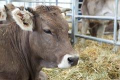 Ascendente cercano de la vaca fotografía de archivo libre de regalías