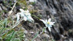 Ascendente cercano de las edelweiss metrajes