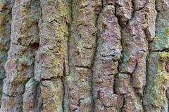 Ascendente cercano del árbol Imagen de archivo