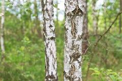 Ascendente cercano del abedul Arboleda del abedul en el bosque de Bielorrusia Foto de archivo libre de regalías