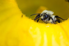 Ascendente cercano del abejorro Imágenes de archivo libres de regalías