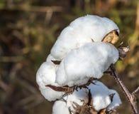 Ascendente cercano del algodón Imagen de archivo libre de regalías