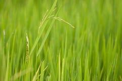 Ascendente cercano del arroz Foto de archivo libre de regalías