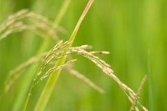 Ascendente cercano del arroz Imagen de archivo libre de regalías