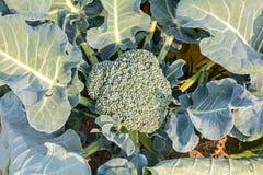 Ascendente cercano del bróculi Fotos de archivo libres de regalías
