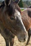 Ascendente cercano del caballo Fotografía de archivo
