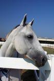 Ascendente cercano del caballo Imagen de archivo libre de regalías