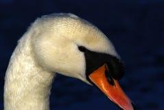 Ascendente cercano del cisne Fotos de archivo libres de regalías