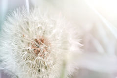 Ascendente cercano del diente de león Fondo floral del resorte imagen de archivo libre de regalías