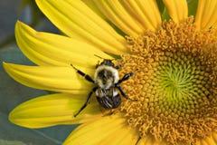 Ascendente cercano del girasol y de la abeja Fotografía de archivo libre de regalías