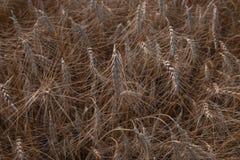 Ascendente cercano del grano, campo de trigo Cultivo y agricultura Nueva cosecha en campo de trigo Fotos de archivo