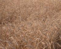 Ascendente cercano del grano, campo de trigo Cultivo y agricultura Nueva cosecha en campo de trigo Imagen de archivo libre de regalías