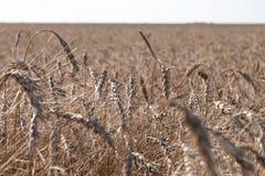 Ascendente cercano del grano, campo de trigo Cultivo y agricultura Nueva cosecha en campo de trigo Fotos de archivo libres de regalías