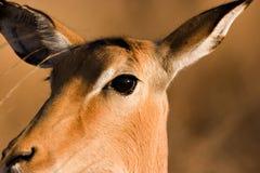 Ascendente cercano del impala Foto de archivo libre de regalías