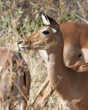 Ascendente cercano del impala Fotografía de archivo libre de regalías