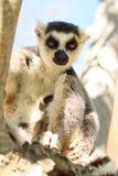 Ascendente cercano del lémur Fotografía de archivo