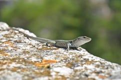 Ascendente cercano del lagarto Foto de archivo libre de regalías