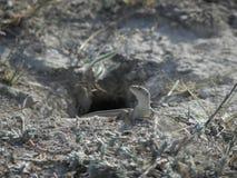 Ascendente cercano del lagarto Foto de archivo