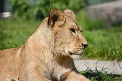 Ascendente cercano del león Foto de archivo