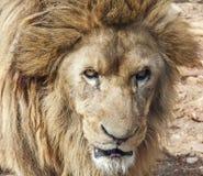 Ascendente cercano del león Fotos de archivo