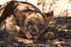 Ascendente cercano del león Imágenes de archivo libres de regalías