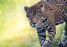 Ascendente cercano del leopardo fotos de archivo