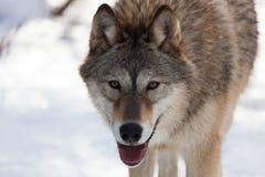 Ascendente cercano del lobo Fotografía de archivo
