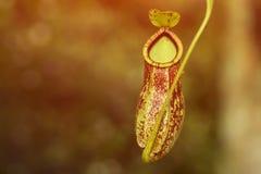 Ascendente cercano del Nepenthes Fotografía de archivo